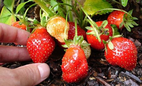 Richs Kitchen Search Questions Strawberries Image